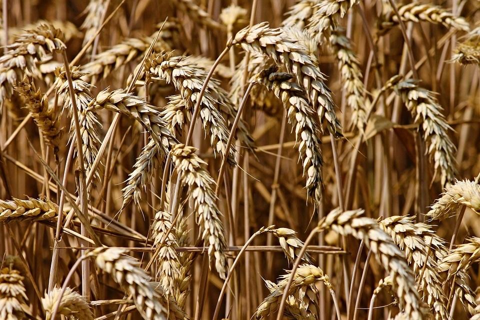 Risikoabschätzung Getreideernte 2020
